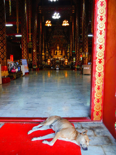 Naptime 🐶 Zzz Chiang Mai | Thailand Temple In Thailand Temple Architecture Buddhist Temple In Thailand Chiang Mai Thailand EyeEm Thailand Templearchitecture Sleeping Dog Dogs In Thailand Dog And Temple Temple Entrance Temple - Building Templephotography Funny Moments Dog Sleeping  In The Way Buddhist Temple Buddhist Statue Buddhisttemple FUNNY ANIMALS Sleeping Animal Nap Time Naptime