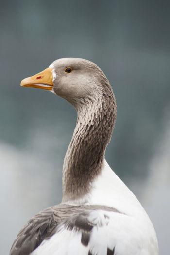 Animal Themes Animal Wildlife Animals In The Wild Beak Bird Close-up Day Focus On Foreground Goose Greylag Goose Nature No People One Animal Outdoors Water Bird