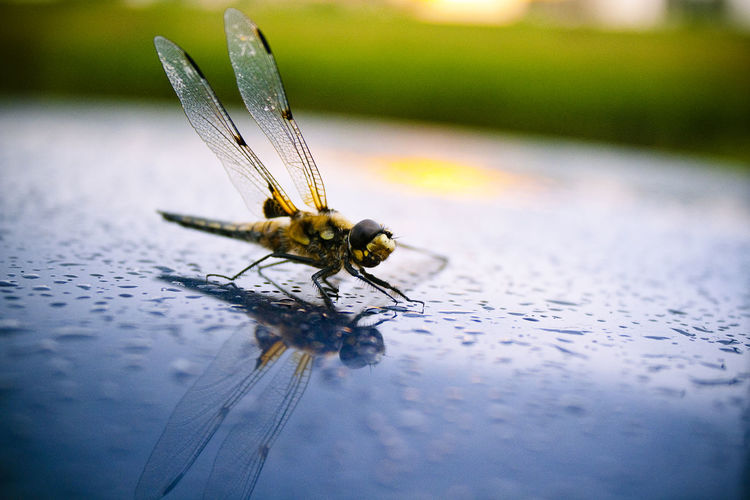 Close-up of dragonfly on wet car