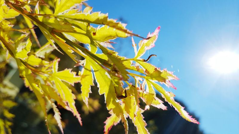 Sunbeam Sun Growth Sunlight Leaf Low Angle View Close-up Plant Nature Lens Flare Beauty In Nature Blue Sky Focus On Foreground Fragility Yellow Day Green Color Freshness Back Lit
