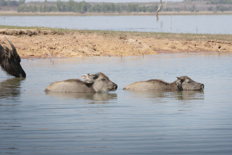 small water buffalo in the river Water Group Of Animals Animal Themes Animal Animal Wildlife Animals In The Wild Mammal Lake Vertebrate Day Waterfront No People Nature Medium Group Of Animals Swimming Beauty In Nature Outdoors Zoology Animal Family Buffalo