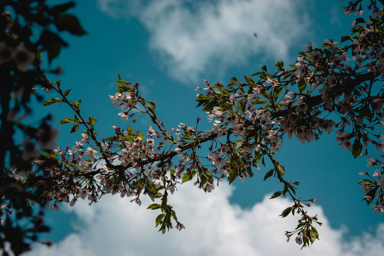 Tree Plant Sky Low Angle View Beauty In Nature Growth Cloud - Sky Branch Nature Leaf Day Flower No People Plant Part Flowering Plant Outdoors Blossom Tranquility Fragility Freshness Springtime Cherry Blossom Cherry Tree Spring