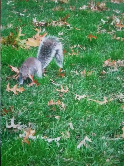CentralPark Central Park Nature Beautiful Nature Natural Light Squirrel Greenery Grass Animal