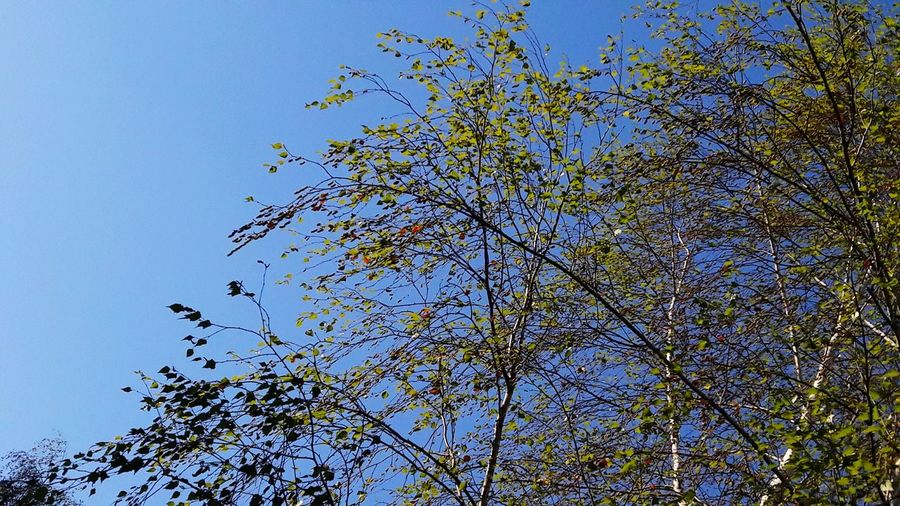 Trees And Sky Blue Sky Trees And Nature First Eyeem Photo EyeEmNewHere EyeEm Nature Lover High Angle View Smartphonephotography Outdoors Sky And Trees Bird Tree Flying Clear Sky Blue Flock Of Birds Branch Sky Animal Themes Blooming Petal Treetop Fragility My Best Photo