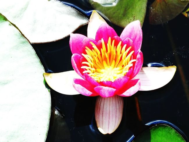 Flower No People High Angle View Water Petal Freshness Day Directly Above Nature Indoors  Close-up Fragility Lotus Water Lily Beauty In Nature Flower Head