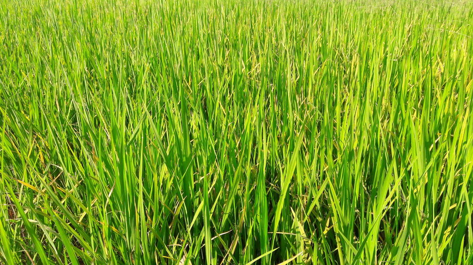 Jusmin rice fields Rice Field Rice Backgrounds Field Green Color Close-up Green Countryside