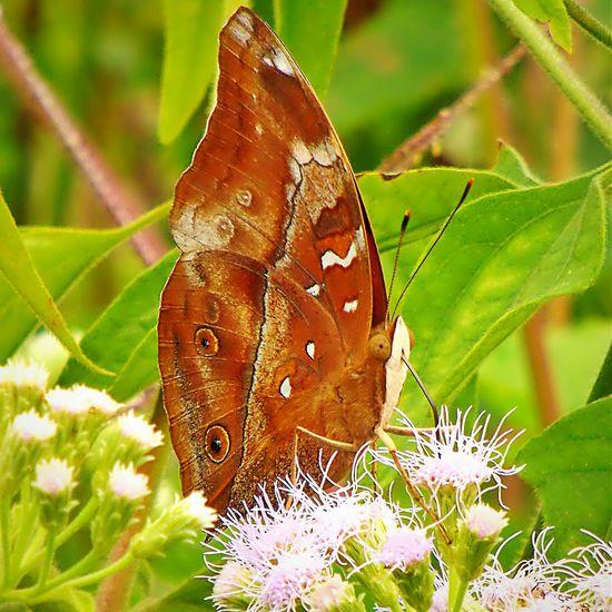 Butterfly Butterfly And Flowers Beauty In Nature Nature Wild Flowers Zenfone5 Bandung Phonetography Closeup Macro Mobile Macrophonegraphy Macro Beauty Macro Macro Animal