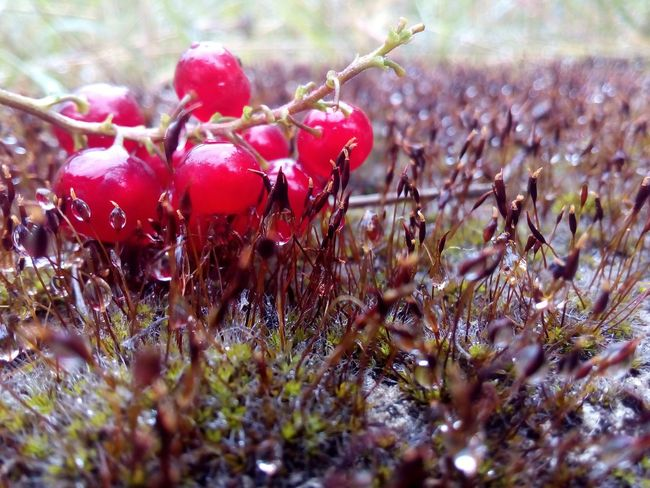 Красная смородина Red Nature Growth Plant No People Close-up Fruit Day Outdoors Beauty In Nature Rose Hip Freshness Food Tree