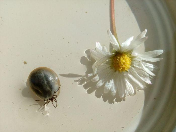 Tick in the water Arthropod Daisy Animal Beetle Bloodsucking Danger Flower Ixodidae Kullancs Tick White Flower