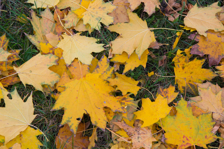 Autumn Autumn Autumn Colors Backgrounds Beauty In Nature Change Close-up Czech Republic Day Dry Fragility Full Frame Grebovka Havlickovy Sady Leaf Leaves Maple Maple Leaf Nature No People Outdoors Park Prague Tree Yellow