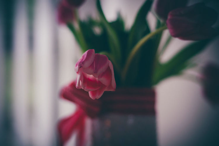 Red Tulips Beauty In Nature Bouquet Close-up Flower Flower Arrangement Flower Head Flowering Plant Focus On Foreground Fragility Freshness Indoors  Nature One Person Petal Pink Color Plant Red Rosé Rose - Flower Selective Focus Vulnerability