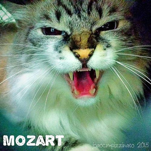 Mozart. Cat Pet Animal Groomer colors city zonasul saopaulo brasil photograph ir_animals animalsmood animalsturk icu_topcatbreeds