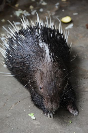 Close-up of porcupine in zoo