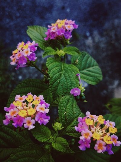 Blooming season Flower Beauty In Nature Freshness Plant Green Color Flower Head Leaf Nature Petal Lantana Camara Outdoors Blooming Growth
