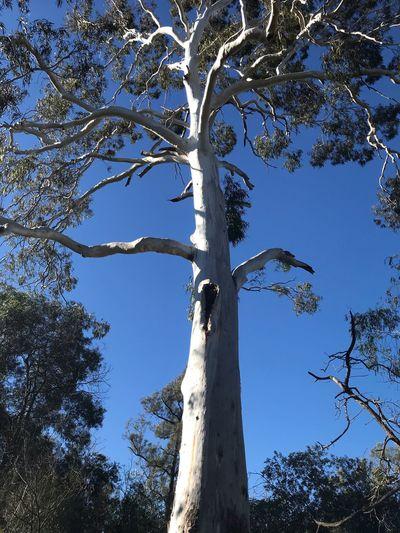 Gum Tree Tree