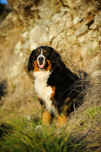 Bernese Mountain dog outdoor portrait Animal Animal Themes Berner Bernese Mountain Dog Canine Day Dog Dog Photography Field Mountain Dog Mouth Open Nature No People One Animal Outdoors Pets Photo Portrait Sitting