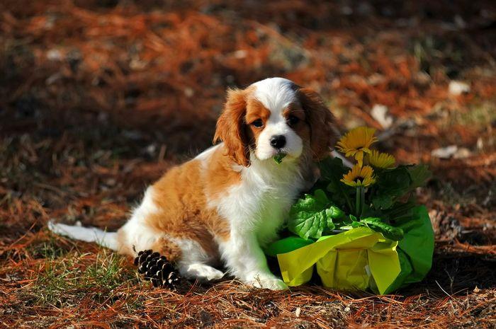 Ckcs Cavalier King Charles Spaniel Cavalierking Puppy Puppy Cavalier Dog Cavalierkingcharles