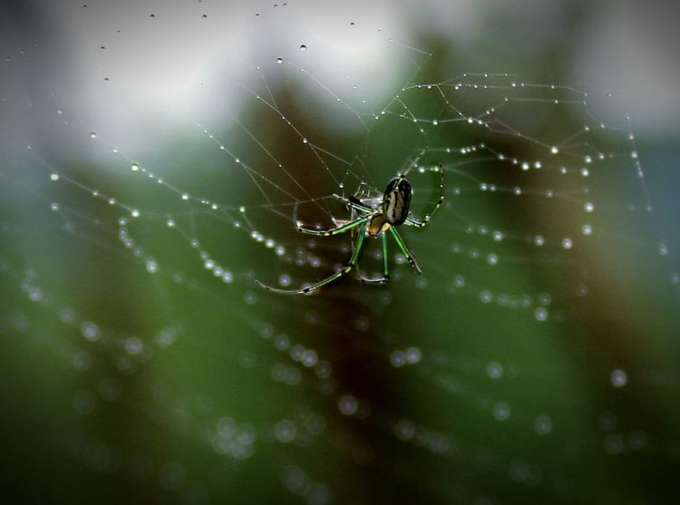 Eyeem Natur Lover Home Is Where The Art Is EyeEm Masterclass Spider Spider Web Spider Web And Rain Spider On Web Natural Pattern Fine Art Fine Art Photography Macro Spider Macro Insects Droplet Macro Water Drops Droplets Macro Photography Macro Nature Macro Arachnophobia Orchard Orbweaver Macroclique Connecticut Spiders Arachnid Showcase July Maximum Closeness