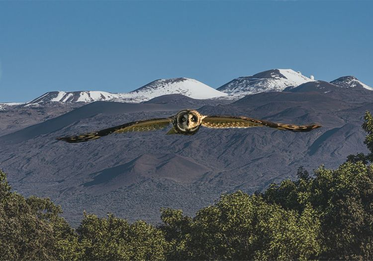 Swooping in (Composite image) Mountain Sky Scenics - Nature Clear Sky Tranquil Scene Beauty In Nature Nature Blue Tree No People Non-urban Scene Mountain Range Outdoors Snowcapped Mountain Mountain Peak Travel Destinations Hawaii Owl Mauna Kea Mauna Kea Observatories Wings Wings Spread Composite Image