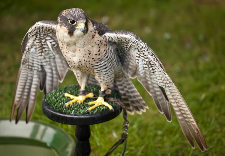 Falcon Duck Hawk Wings Bird Brown Feather  Black Plumage Hunter Peregrine Falcon Falco Peregrinus Blue Speed Predator Copy Space Sky Nature Raptor Eye Animal Fast Bill Wildlife United KINGDOM Glastonbury Somerset