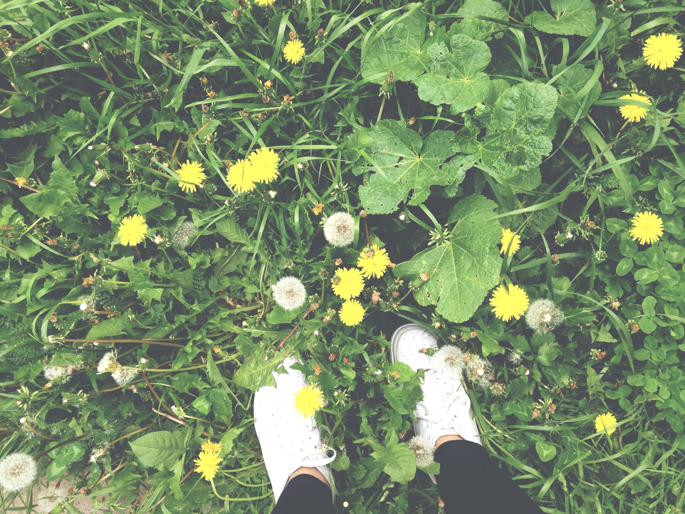 personal perspective, low section, flower, high angle view, yellow, person, plant, growth, leaf, standing, freshness, field, shoe, unrecognizable person, grass, green color, lifestyles