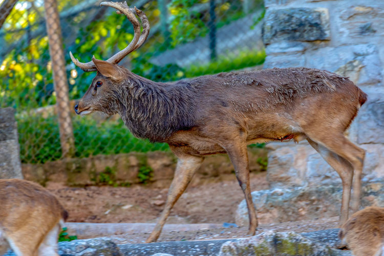 Animal Mammal Animal Themes Animal Wildlife Animals In The Wild Deer Vertebrate Day Group Of Animals No People Focus On Foreground Land Field Standing Nature Horned Two Animals Domestic Animals Outdoors Herbivorous Fawn