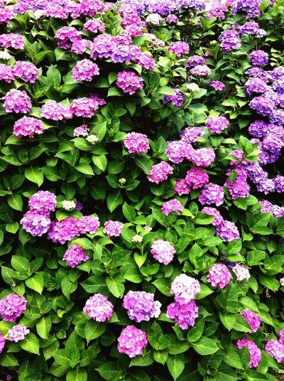 Flowers Hydrangea Purple Tokyo Japan IPhone IPhone 4 IPhoneography