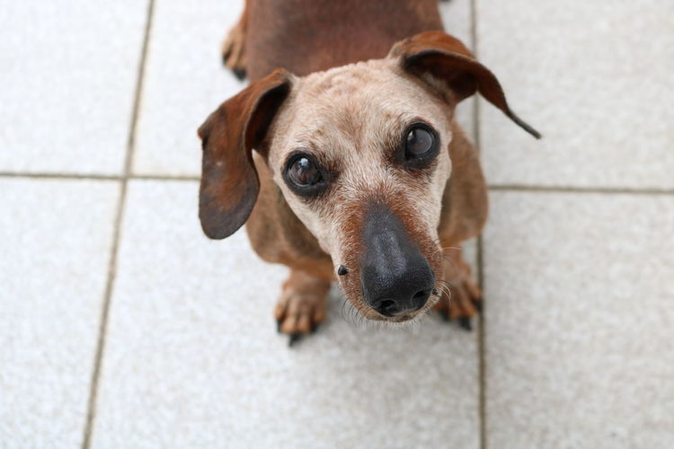 Cute Pets Dogs Of EyeEm Hello World Aging Aging Process Brown Canine Canon_photos Dachshund Dog Dog Photography Dog Portrait Dogslife Domestic Animals High Angle View Looking At Camera Lookingup Old Dog Pets Portrait portrait of a friend Portrait Photography Sausagedog Senior Dog White Hair