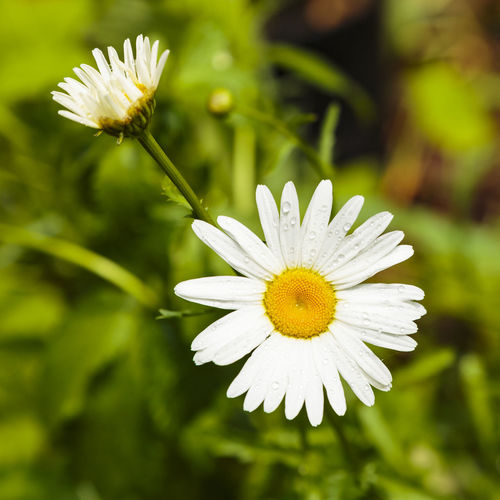 Daisy in a garden by Eagle Lake, Ontario, Canada Daisy Eagle Green Nature Ontario Plant Blooming Canada Close-up Day Flower Flower Head Fragility Freshness Garden Growth Lake Nature No People Outdoors Petal Plant Pollen White Yellow