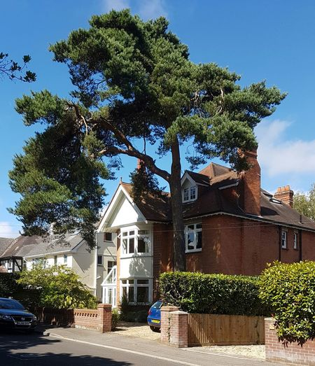 Scots Pine beside late-19th century villa residential Poole, Dorset, UK. Scots Pine Pinus Sylvestris Crooked Tree Tree And House Suburban England Victorian Architecture August 2016 Low August Sun Elegant Tree Architecture