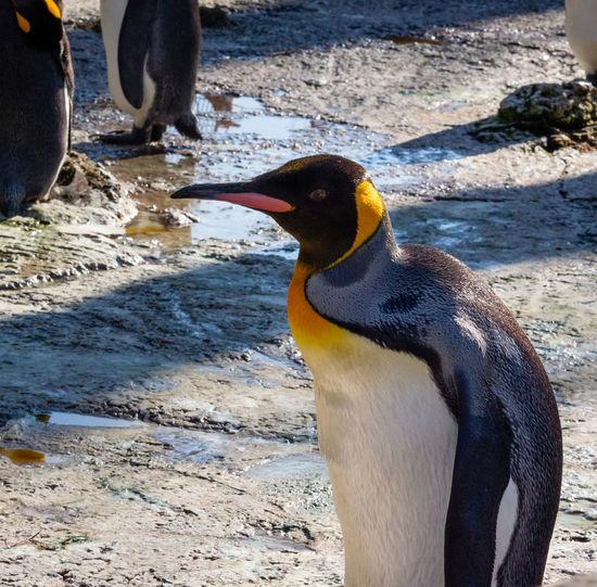 Bird Birdland Animal Vertebrate One Animal Close-up No People Beak Penguin King Penguin Rock Focus On Foreground Day