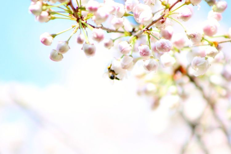 Cherry Blossom HoneyBee Flower Head Tree Flower Branch Springtime Pink Color Pastel Colored Backgrounds Blossom