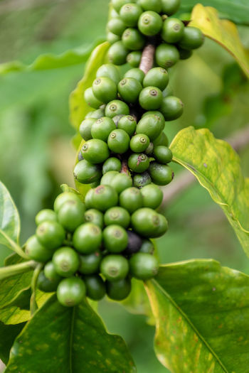Agriculture Arabica Arabica Coffee ASIA Background Bean Beans Berries Berry Beverage Branch Bush Caffeine Closeup Coffea Coffea Arabica Coffee Composition Crop  depth of field Drink Farm Farming Food Fresh Fruit Green Grow Growth Harvest Industry Leaf Nature Organic Photography Plant Plantation Raw Raw Coffee Red Ripe Robusta Technique Thailand Tree Tropical Unripe Using Green Color Food And Drink Healthy Eating Close-up Plant Part Freshness No People Focus On Foreground Day Beauty In Nature Wellbeing Outdoors Raw Coffee Bean