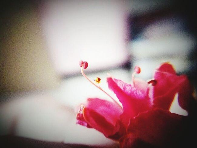 Hanging Out Hello World Enjoying Life Smartphone Photography Flower Photography Macro Photography Macro_captures Blossom, Macro Newbie ✌ Trying Macro Mobilephotography Pollen Flower Collection Pink Flower