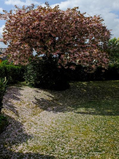 Sakura Blooming Fallen Blossoms Full Bloom Garden Lawn Ornamental Cherry Tree Prunus Serrulata Shirofugen