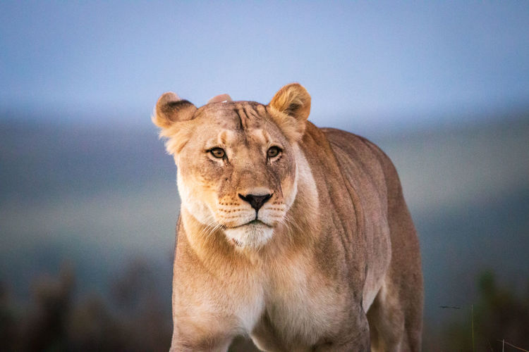 Female lion in south africa walking through savanna and observing the environment