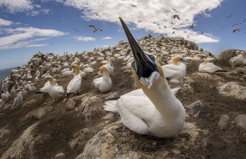 Gannets on hill against sky