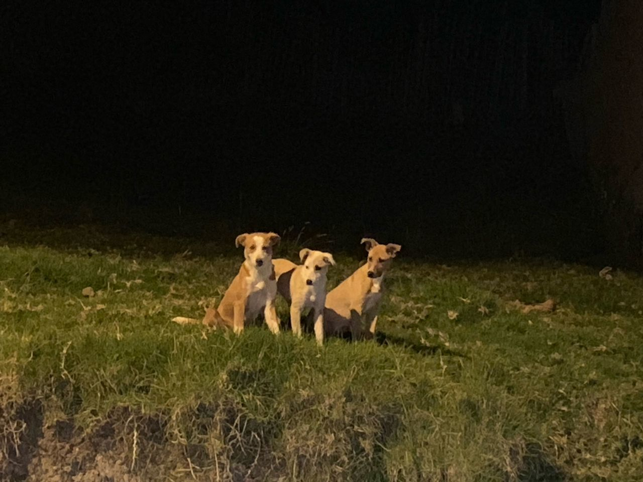 mammal, animal, animal themes, group of animals, grass, pets, domestic animals, domestic, vertebrate, plant, field, land, no people, night, two animals, nature, young animal, canine, dog, copy space, animal family, herbivorous