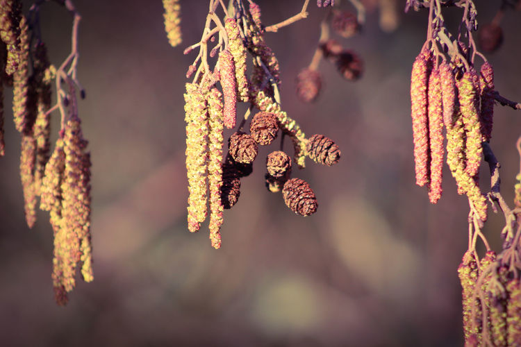 good morning EyeEm friends happy Snappy Wednesday 👍👍👍😊🕊 EyeEm Best Shots EyeEm Nature Lover EyeEmBestPics EyeEm Best Shots - Nature Beauty In Nature Wonders Of Nature Catkin Branches Buds On Branches Winter Hanging Branch Close-up Catkin Blooming