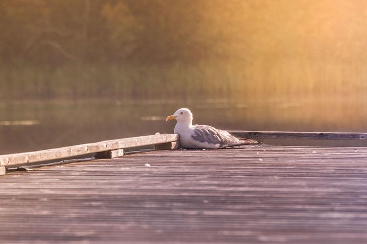 Seagull perching on wooden pier