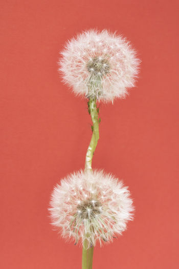Close-up of dandelion flower against red background