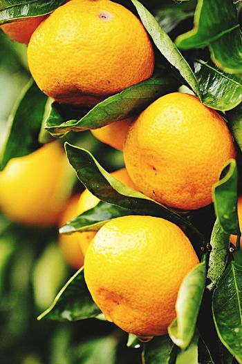 Ripe Fruit Mandarins Orange Fruit Nature Garden & Nature Fauna Produce Juicy Fruit