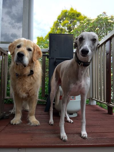 Golden Retriever Whippet Dogs Pooches I Love My Dogs Check This Out