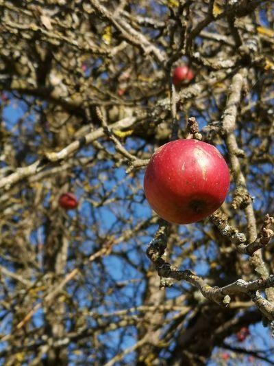 Verbotene Früchte #autumn #fall #Wallpaper Apple Tree Branch Fruit Red Hanging Winter Close-up