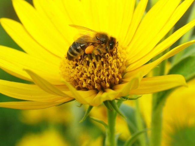 Honey bee, focused. Robin Fifield - Flora Honey Bee Bee Collecting Pollen Bee Collection Bee On The Flower Making Honey Beesofeyeem Andalucia Rural