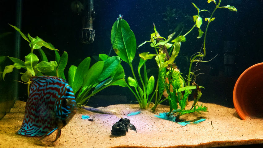 Animal Themes Day Discus Fish Green Color Leaf Nature No People Outdoors Plant Sand Underwater Water Fish Freshwater Fish Exotic Fish Discusfish Check This Out Samsung Galaxy S5 Fish Tank