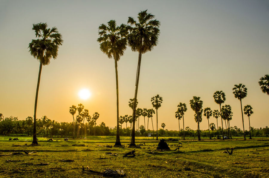 EyeEm Gallery Eyeem Silhouette Palm Silhouette Sugar Palm Tree Beauty In Nature Clear Sky Day Field Grass Growth Landscape Nature No People Outdoors Palm Tree Scenics Sky Sugar Palm Sun Sunset Tranquil Scene Tranquility Tree Tree Trunk