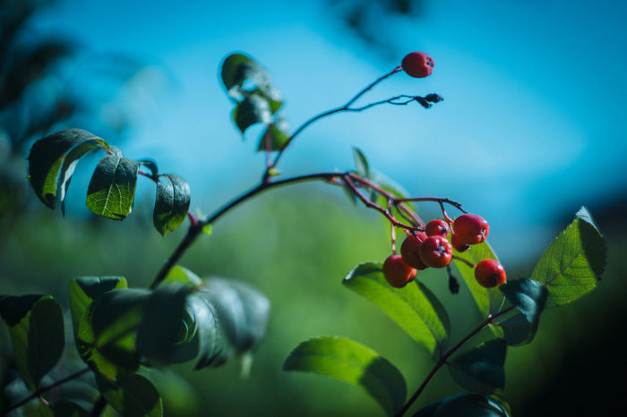 Blue Sky Bottom View Close-up Garden Green Color Nature Red Fruits Selective Focus Summer Tree