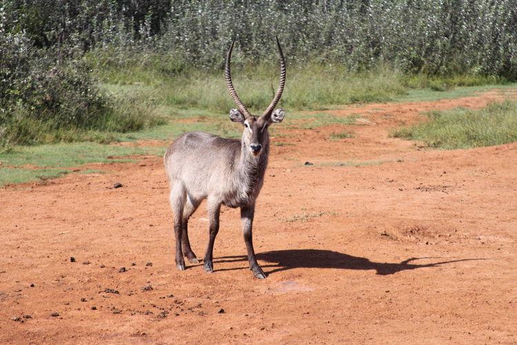 Springbok Animal Wildlife Animals In The Wild Environment Landscape Mammal Nature No People One Animal