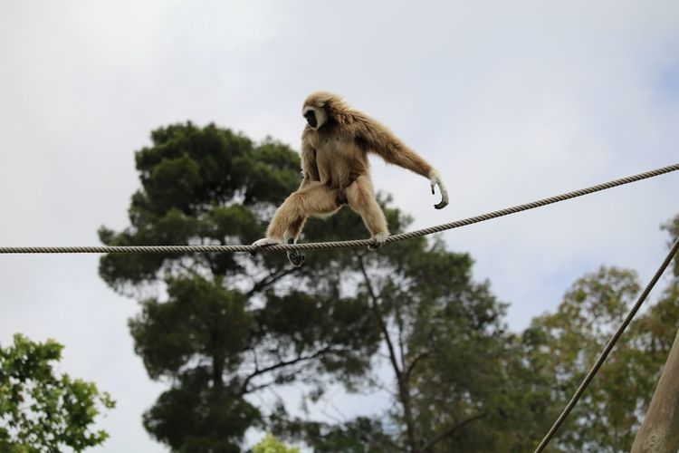 Low angle view of gray langur walking on rope against sky